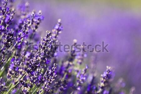 Lawendowe pole Węgry lata kwiat wygaśnięcia krajobraz Zdjęcia stock © Fesus