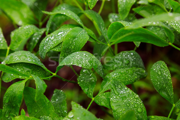 Green leaf with water drops Stock photo © Fesus