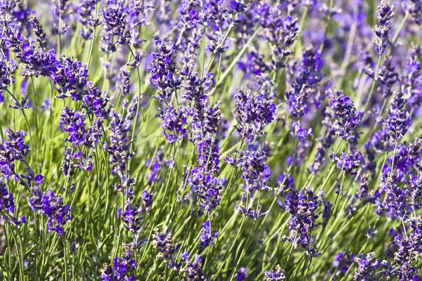 Campo de lavanda verão flor natureza paisagem jardim Foto stock © Fesus