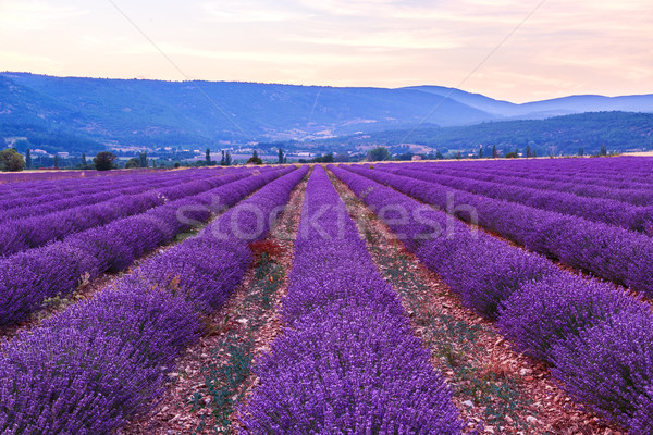 Lavender field summer landscape near Sault Stock photo © Fesus