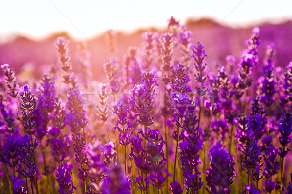 Lavender field in Tihany, Hungary Stock photo © Fesus
