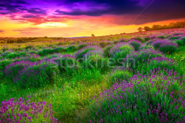 Lavendel veld zomer zonsondergang Hongarije foto Stockfoto © Fesus