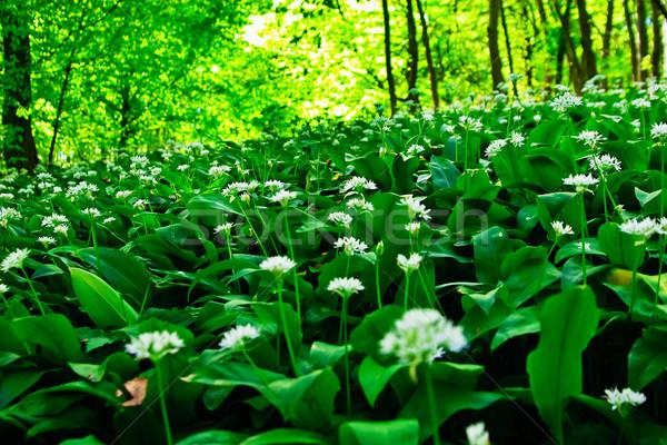 Wild garlic forest Stock photo © Fesus