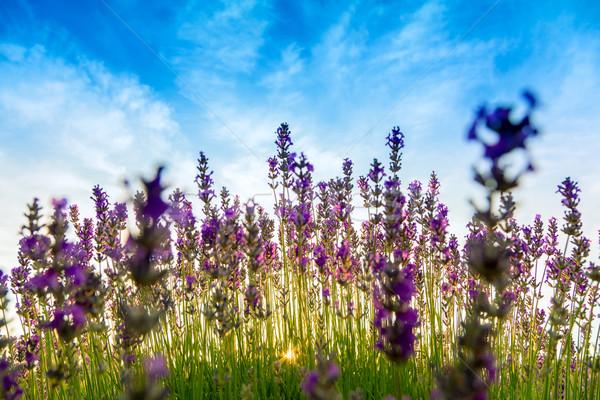 Lavendel veld Hongarije zomer bloem zonsondergang natuur Stockfoto © Fesus