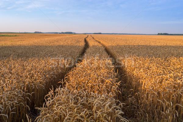Búzamező kész aratás növekvő farm mező Stock fotó © Fesus