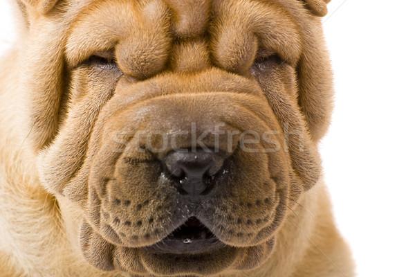 Sharpei kutya háttér csoport jókedv portré Stock fotó © Fesus