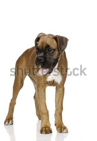 Cachorro boxeador branco animais engraçado animal Foto stock © Fesus