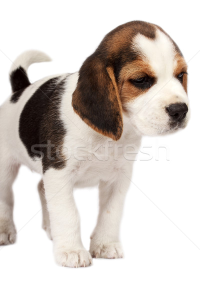 Stok fotoğraf: Tazı · köpek · yavrusu · beyaz · üzücü · genç · kulak
