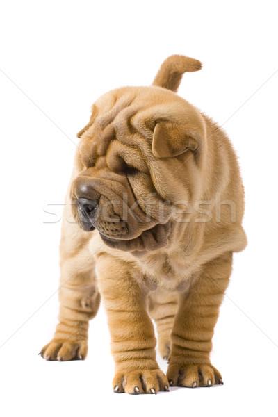 Sharpei cão diversão estúdio perfil amigo Foto stock © Fesus