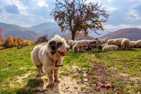 ストックフォト: 犬 · ガード · 羊 · 山 · 犬