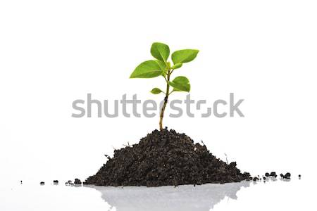 Young plant isolated on white Stock photo © Fesus