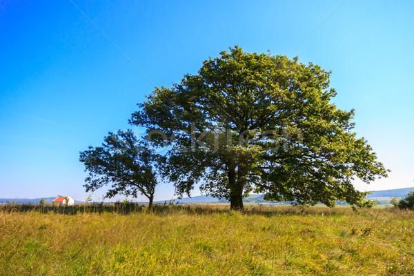 Solitário carvalho prado Hungria árvore verão Foto stock © Fesus