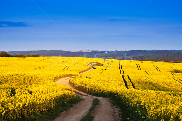 Way in rape field  Stock photo © Fesus