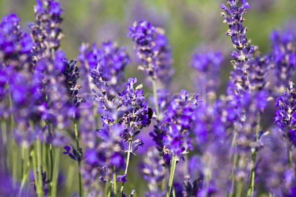 Lavender field Stock photo © Fesus