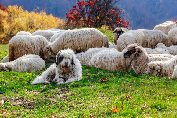 Dogs guard the sheep on the mountain pasture Stock photo © Fesus