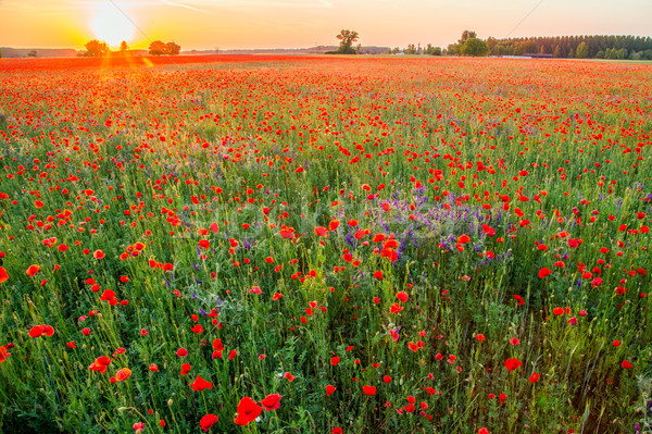 Poppies field at sunset in summer Stock photo © Fesus