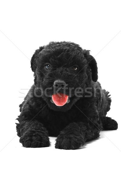 Mały węgierski psa Europie przyjaciela refleksji Zdjęcia stock © Fesus