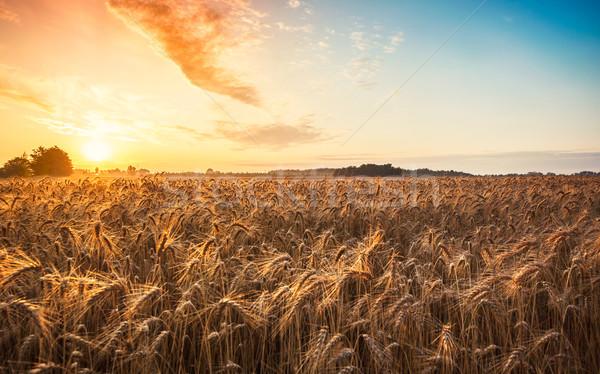 Magic sunrise with wheat field Stock photo © Fesus