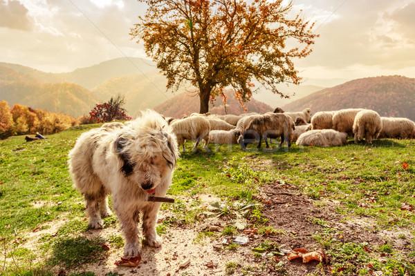 Kutyák őr birka hegy testtartás fű Stock fotó © Fesus