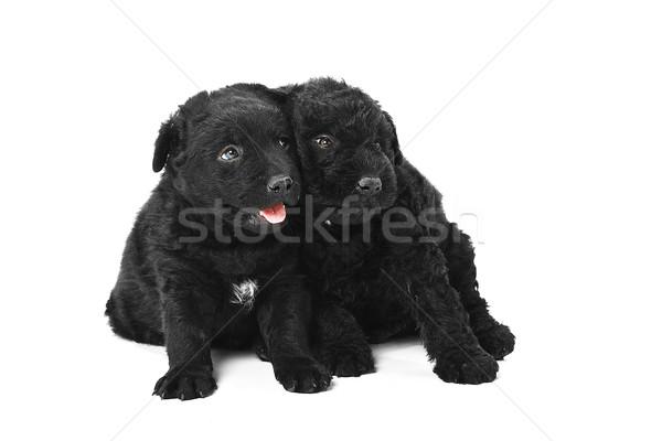 Little hungarian Puli Dog  Stock photo © Fesus