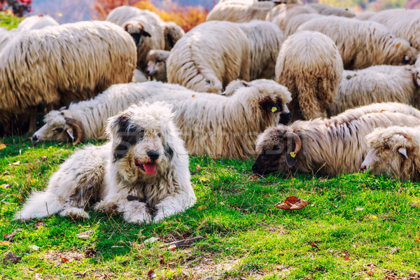 Stock photo: Dogs guard the sheep on the mountain pasture