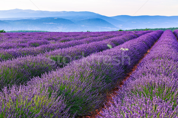 Lavender field summer landscape near Sault Stock photo © Fesus