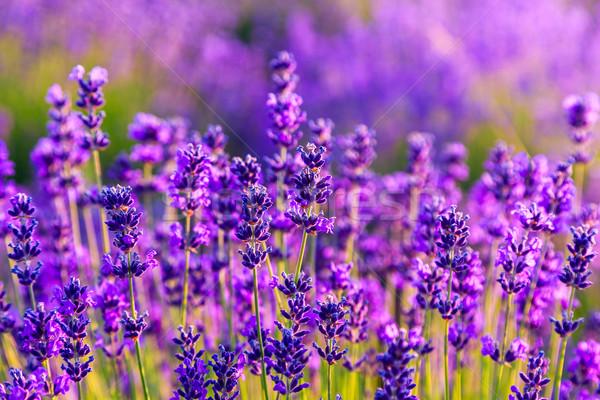 Violeta campo de lavanda pôr do sol verão cor europa Foto stock © Fesus