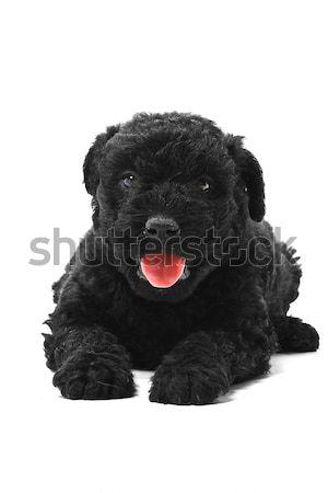 мало собака Европа друга отражение Сток-фото © Fesus