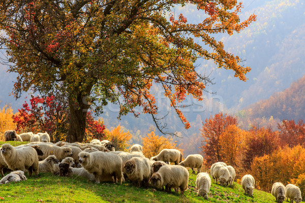 Autumn landscape, sheep, shepard dog Stock photo © Fesus