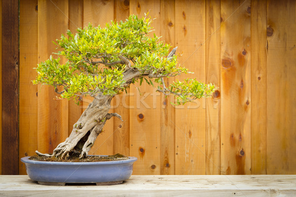 Pomegranate Bonsai Tree Against Wood Fence Stock photo © feverpitch