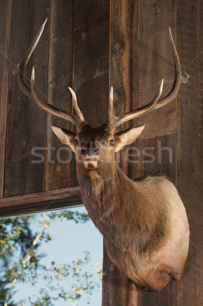 Mounted Stag Head Stock photo © feverpitch