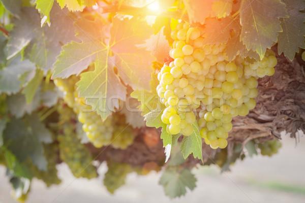 пышный белый винограда виноградник после полудня солнце Сток-фото © feverpitch