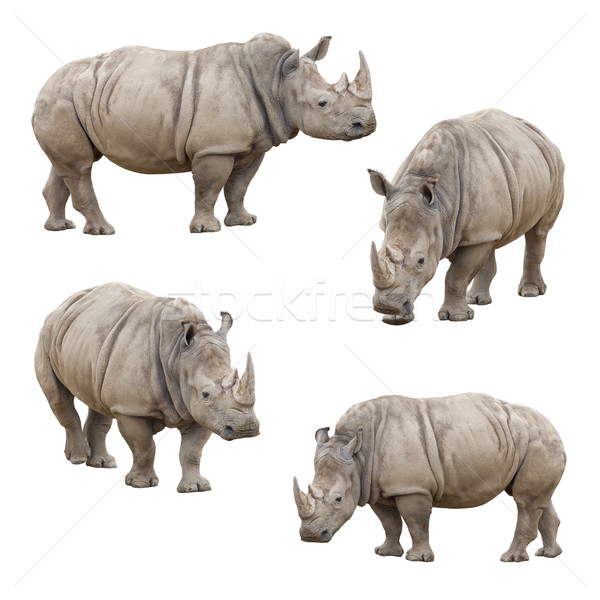 Set of Rhinoceros Isolated on a White Background Stock photo © feverpitch