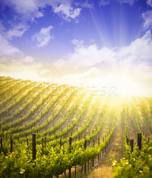 Beautiful Lush Grape Vineyard with Blue Sky and Sun Stock photo © feverpitch