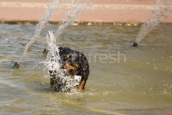 счастливым ротвейлер играет воды фонтан горячей Сток-фото © feverpitch