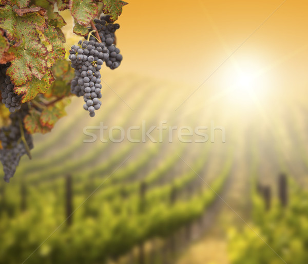 Lush Grape Vine with Blurry Vineyard Background Stock photo © feverpitch