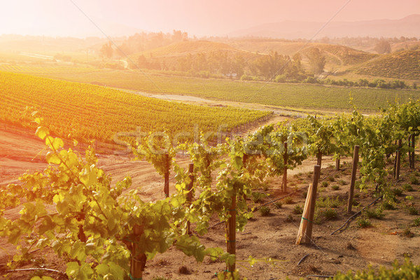 Beautiful Lush Grape Vineyard in The Morning Sun and Mist Stock photo © feverpitch
