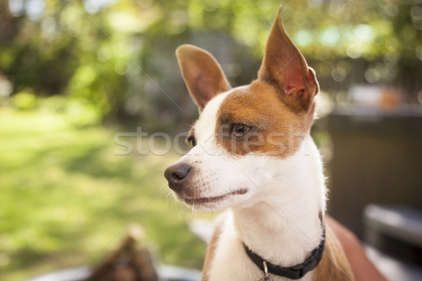 Cute Jack Russell Terrier Stock photo © feverpitch