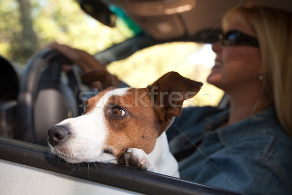Jack russell terrier coche perro femenino vacaciones Foto stock © feverpitch