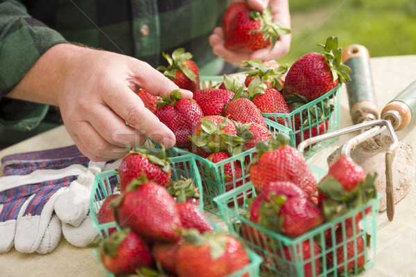 Farmer Gathering Fresh Strawberries in Baskets Stock photo © feverpitch