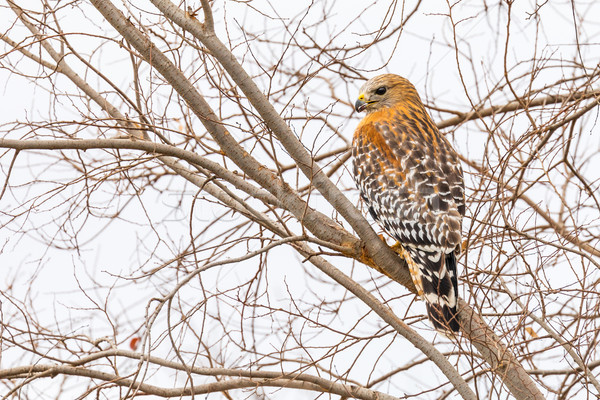 California Red Hawk Watching From the Tree. Stock photo © feverpitch