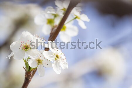 Macro of Early Spring Tree Blossoms with Narrow Depth of Field. Stock photo © feverpitch