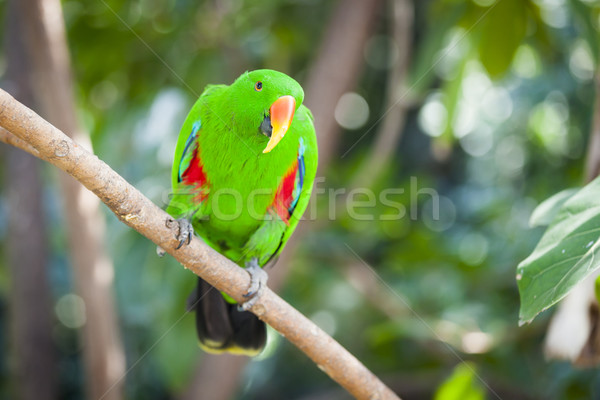 Male Indonesian Eclectus Parrot Stock photo © feverpitch
