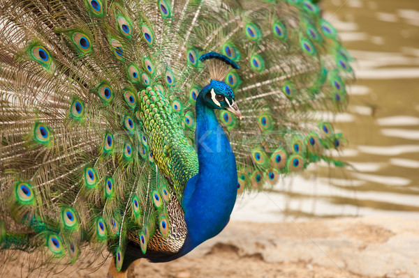 Impressive Peacock with Feathers Spread Stock photo © feverpitch