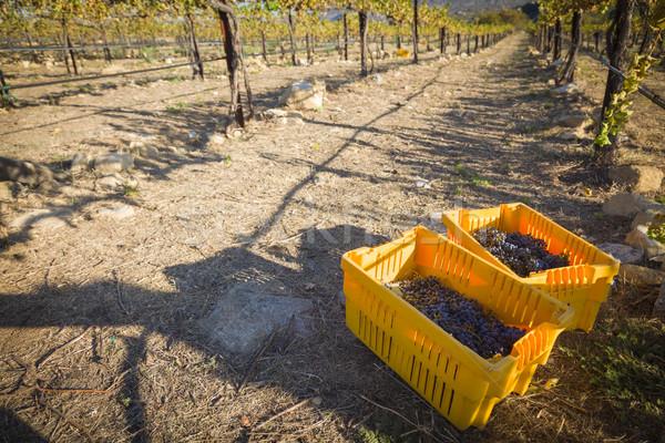 Foto stock: Vino · uvas · cosecha · uno · caída · manana