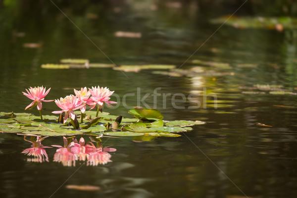 Belo rosa lótus flores lírio lagoa Foto stock © feverpitch