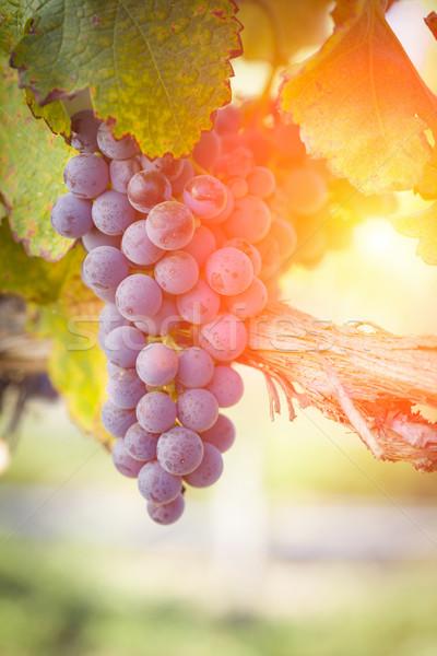 Weelderig Rood druif wijngaard namiddag zon Stockfoto © feverpitch