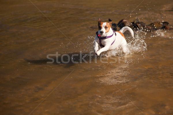 Juguetón jack russell terrier perro jugando agua feliz Foto stock © feverpitch