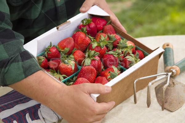 Agriculteur rassemblement fraîches fraises rouge outils Photo stock © feverpitch