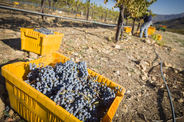 Workers Harvest Ripe Red Wine Grapes Into Bins Stock photo © feverpitch